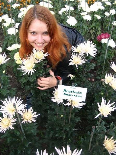 Сорт хризантем Анастасия в Никитском ботаническом саду