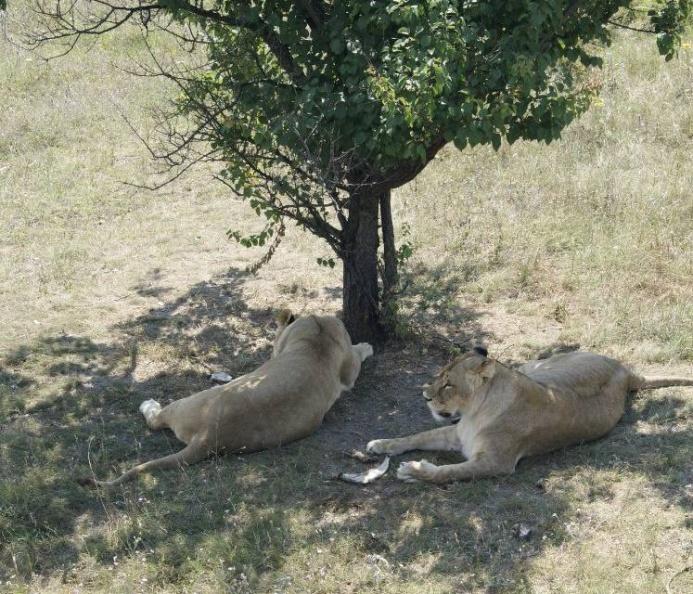 12. Тайган. Львы в тени.jpg