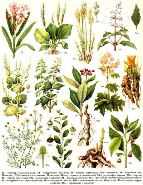 ботанические таблицы с рисунками лекарственных растений, их ценных частей