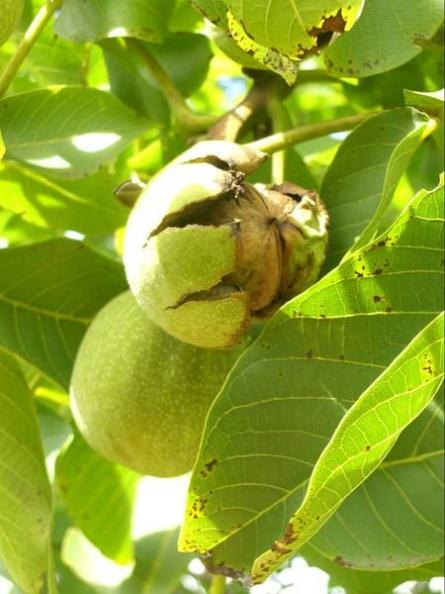 созревший грецкий орех с треснувшей и отслоенной зеленой кожурой легко слетает с дерева, все некачественные плоды остаются на дереве даже, если ветви сильно трусить