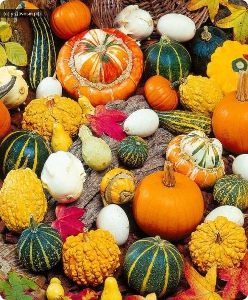 разнообразные виды и сорта декоративной тыквы