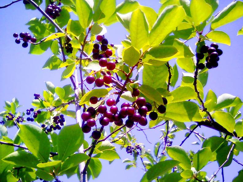 плоды сортовой черемухи в Николаеве, Варваровка