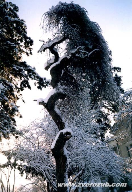 Старая декоративная шелковица в парке Салгирка (Ботанический сад университета), Симферополь