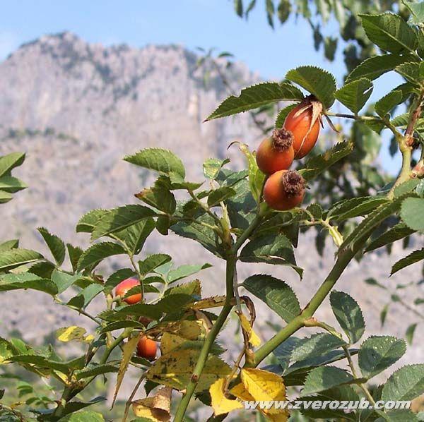 Шиповник (дикая роза) у подножия горы Демирджи