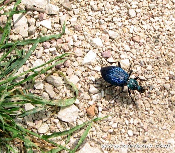 Крымская жужелица (Чернильный жук)