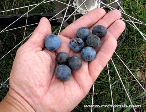 Плоды тёрна (дикая слива) из верховьев Малого Салгира к югу от Симферополя