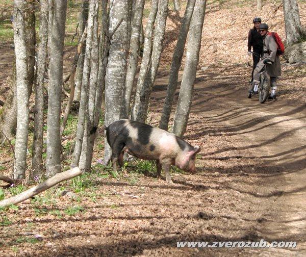 полудикая свинья на Ай-Петри, спуск от Чайного домика в Бельбекскую долину