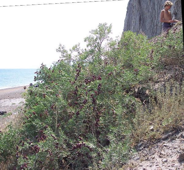 Селитрянка Шобера (ягоды съедобны), Лисья бухта, между Коктебелем и Солнечной долиной