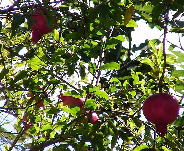 как растет гранат? Дерево с плодами разной спелости, Алушта, Крым