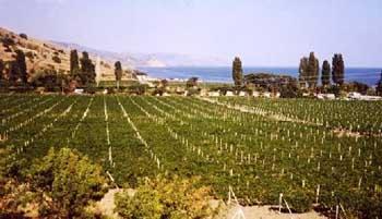 Виноградник сорта Цитронный Магарача в Приветном, между Алуштой и Судаком