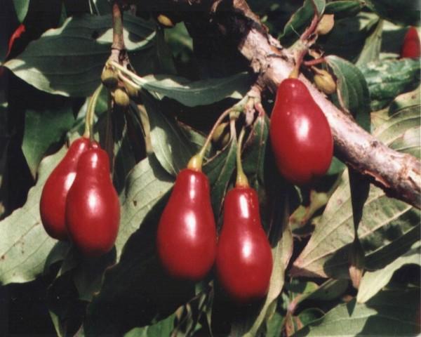 садовый привитый кизил в Крыму часто встречается в горах в лесных садах чаирах