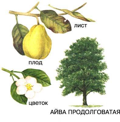 Айва продолговатая, ботаническое описание: дерево, лист,  цветок, плод. Рисунок, изображение, фото