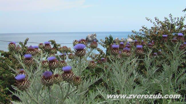 Цветущие растения артишока на Южном берегу Крыма, клумба санатория