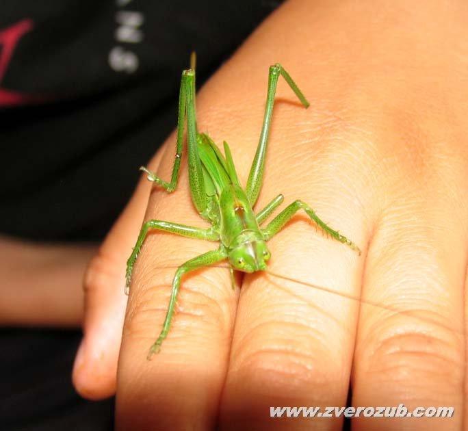 Как делать фото коллекции насекомых и определять их биологическое  Кузнечик кобылка на детской руке Крым