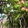 Дикая яблоня в долине Арпат (Зеленогорье)