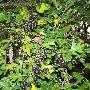 крымская черноплодная рябина, урочище Суучхан у Красных пещер к югу от Симферополя