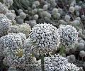 Семена Ялтинского лука (Чернушка) на приусадебном участке в Малореченском (Куру-узень), восток Большой Алушты