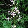 Ясенец, или Неопалимая Купина, растение вызывающее сильные ожоги