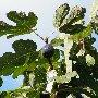 Ижир (фиговое дерево, винная ягода)